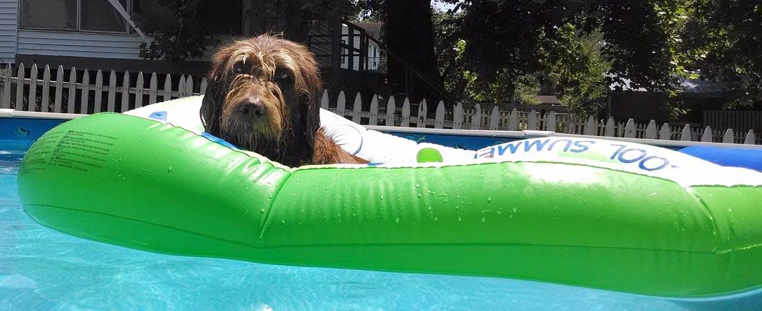 Bathing a Labradoodle